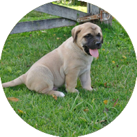 mastif-circle